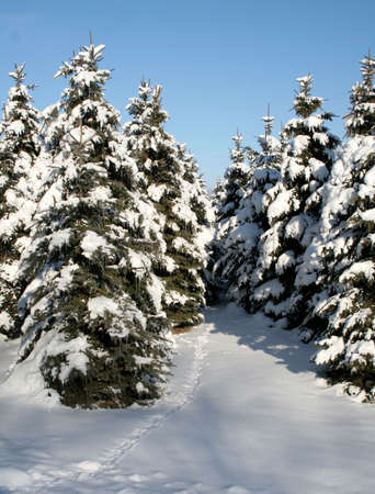 A path running through a bunch of snow covered evergreens. Stock Photo