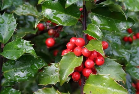 Wet holly berries on a holly bush.