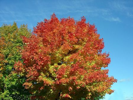 An autumn maple in full red bloom. Stock Photo - 631628