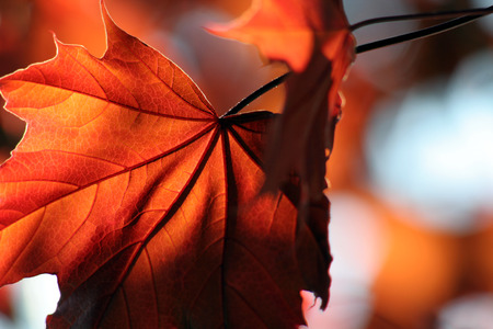 A backlit Red Maple leaf shot from a beneath. Stock Photo - 1480135