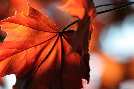 Eine hintergrundbeleuchtete Red Maple leaf Schuss aus einer unter.  Standard-Bild - 1480135