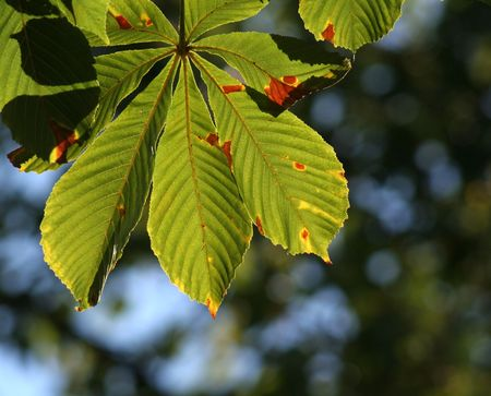 Early autumn backit beech tree leaves.