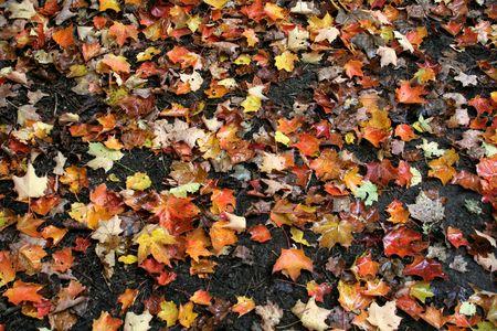 damp: Numerose foglie d'acero colorato seduto su un autunno umido il terreno.  Archivio Fotografico