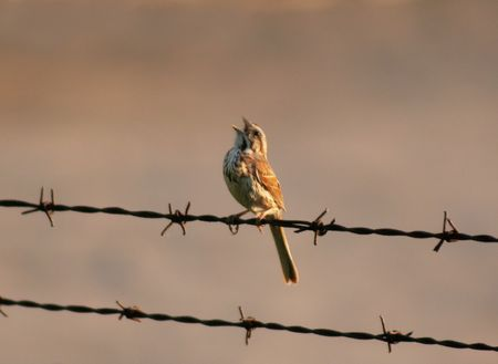 A Song Sparrow singing on a barb wire fench.