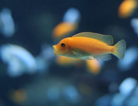 cichlidae: An orange cichlid with its mouth wide open.