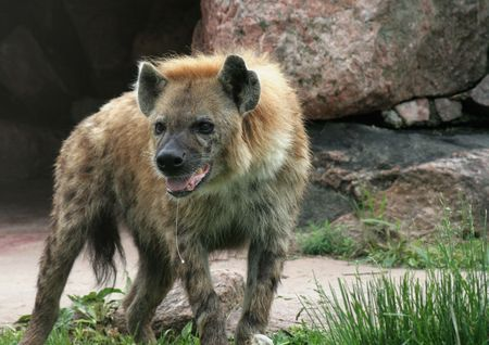 A spotted hyena, with drool hanging out of its mouth.