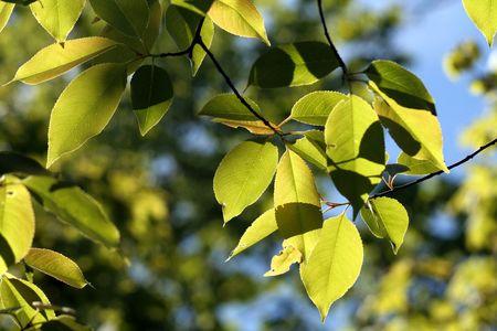 Bright green beech tree leaves.