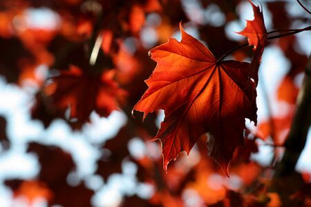 red maple leaf: A backlit Red Maple leaf shot from a beneath.