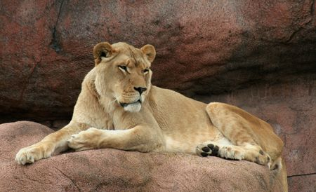 A lioness sitting on her a rock, watching over her domain. Imagens