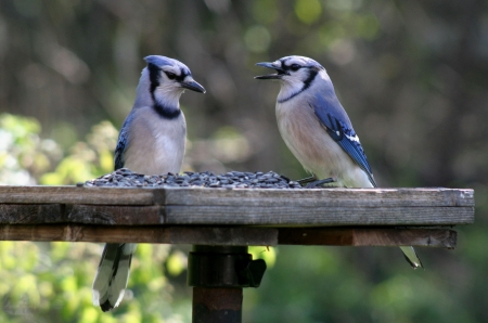 Two blue jays feeding at a bird-feeder.