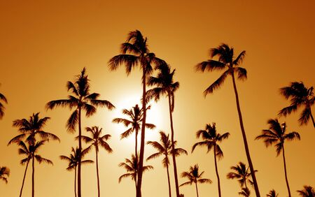 The silhouettes of a bunch of palm trees shot against the setting sun. photo