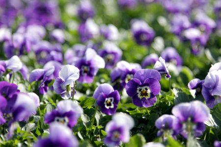 violas: Lots of purple violas at spring garden nursery.