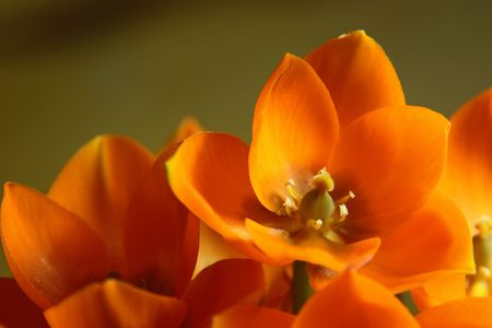 ornithogalum: A close-up of an Orange Star flower. (ornithogalum dubium ) Stock Photo