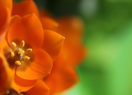 ornithogalum: A close-up of an Orange Star flower. (ornithogalum dubium )  Shot with a shallow depth of field. Stock Photo