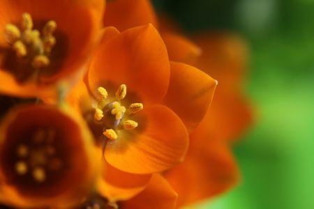 ornithogalum dubium: A close-up of an Orange Star flower. (ornithogalum dubium )  Shot with a shallow depth of field. Stock Photo