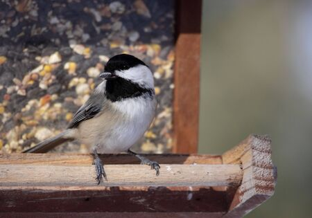 snacking: A black-capped chickadee (Poecile atricapillus) snacking on a sunflower seed.