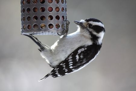 downy: A downy woodpecker (Picoides pubescens) feeding at a peanut feeder.