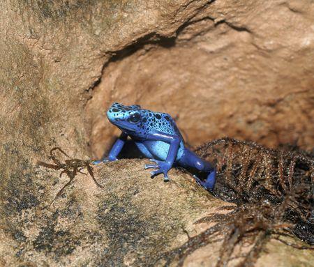dendrobates: A Blue Poison Arrow Frog (Dendrobates azureus) sitting on rocks.