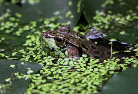 lilypad: A bullfrog (Rana catesbeiana) peaking through weeds in a swamp.