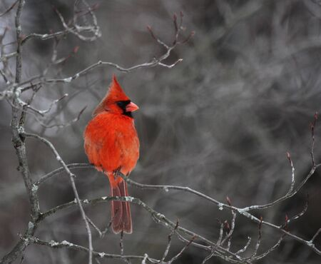 redbird: A beautiful red cardinal perched in a tree. Stock Photo