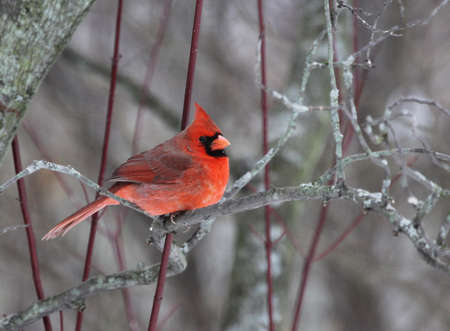 redbird: A beautiful red cardinal perched in a tree.
