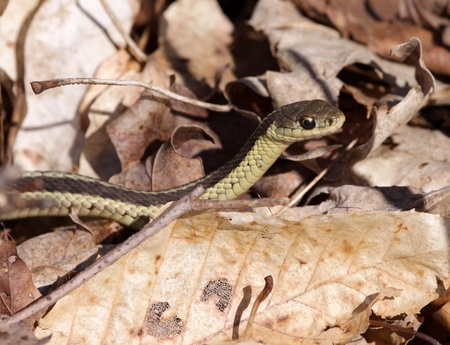 A focused eastern garter snake (Thamnophis sirtalis), peering through some dead leaves.