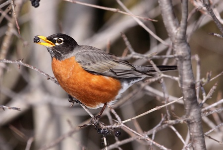 An american robin eating a berry in a tree. Archivio Fotografico