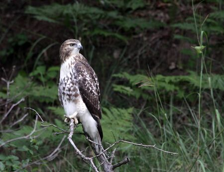 pinery: A perched Red-tailed Hawk (Buteo jamaicensis) in a tree, in the Pinery Provincial Park, Ontario, Canada.