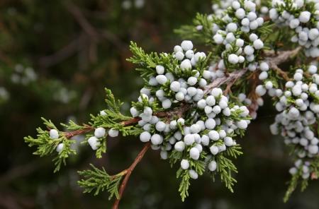 cedro: Las bayas frescas de un árbol de cedro.