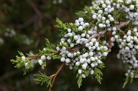 The fresh berries of a cedar tree.