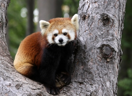 A Red Panda (Ailurus fulgens) sitting in a tree at a zoo.