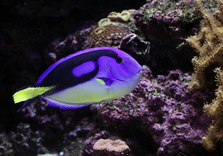 hepatus: A Regal Tang ( Paracanthurus hepatus ) swimming, near some coral. Stock Photo