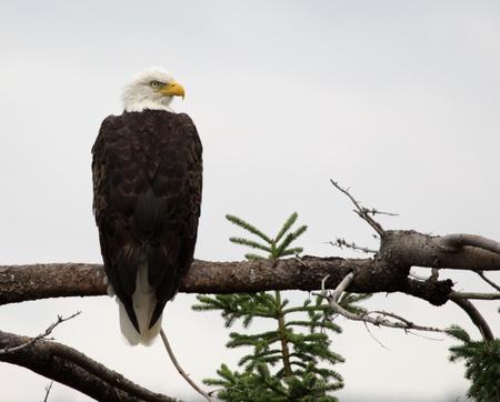 perching: A perched bald eagle (Haliaeetus leucocephalus), shot in Cape Breton Highlands National Park, Nova Scotia Canada. Stock Photo