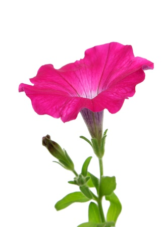 petunia: A pink petunia flower isolated on a white background.