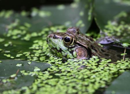 peaking: A bullfrog (Rana catesbeiana) peaking through weeds in a swamp.
