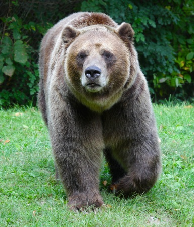 grizzly: A Grizzly bear (Ursus arctos horribilis) strolling in a zoo. Stock Photo