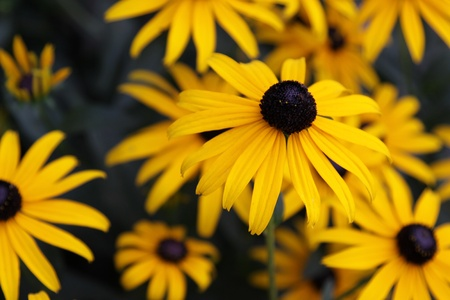 hirta: A Black-eyed Susan (Rudbeckia hirta) flower in the midst of a flower bed.