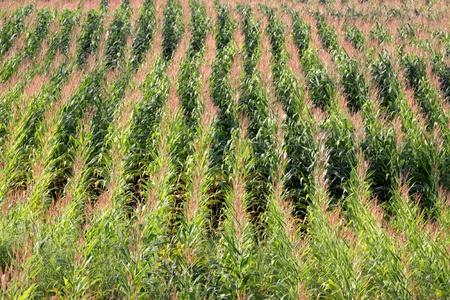 corn stalks: Rows of corn stalks in a large corn field.