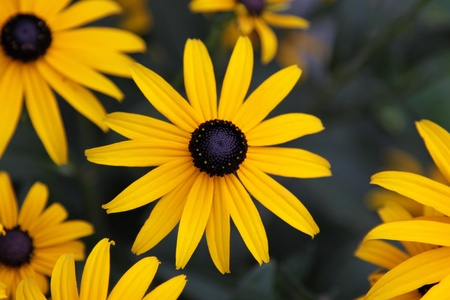 A Black-eyed Susan (Rudbeckia hirta) flower in the midst of a flower bed. Stock Photo - 12846526