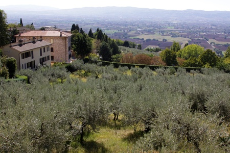 Olive trees in Assisi, Italy.  In the Umbria region. Stock Photo - 12971687
