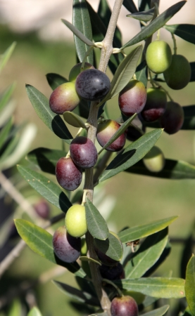olive branch: Olives still on the branch of an Olive tree in Italy  Stock Photo
