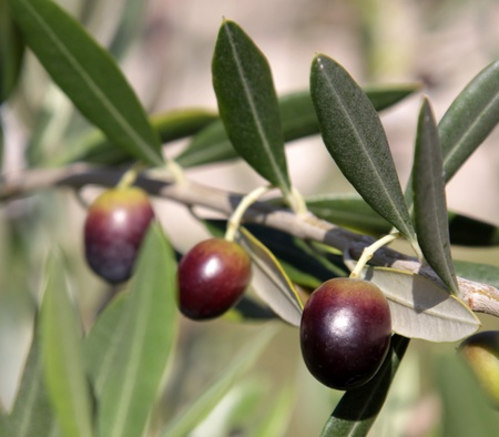 olive farm: Olives still on the branch of an Olive tree in Italy. Stock Photo