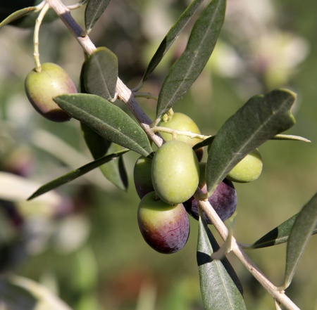 Olives still on the branch of an Olive tree in Italy. Stock Photo - 13562569