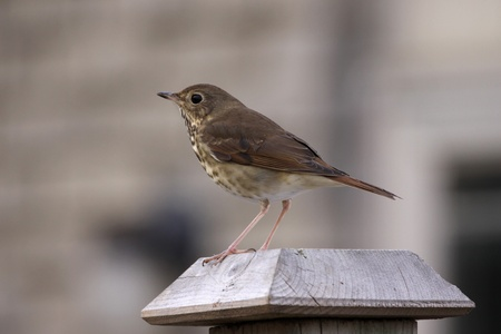 songbird: A Wood Thrush (Hylocichla mustelina) sitting  on a fence post. Stock Photo