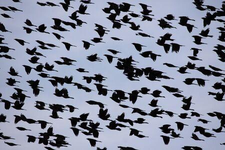 bandada pajaros: El cielo se llenó de mirlos voladores. Foto de archivo