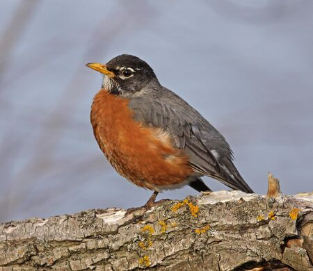 An American Robin  Turdus migratorius  perched in a tree    Stock Photo - 13850382