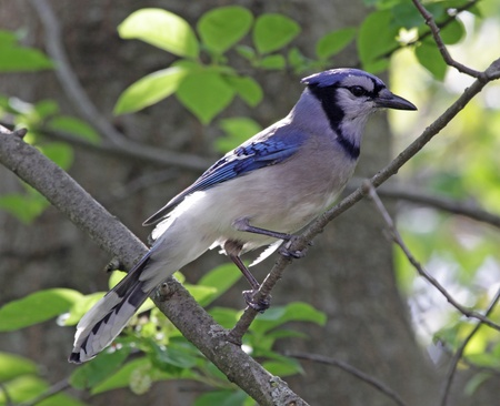 jay: A Blue Jay (Cyanocitta cristata) perched on a branch. Stock Photo