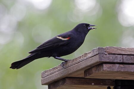 bird feeder: A male Red-winged Blackbird eating at a bird feeder in Ontario, Canada.