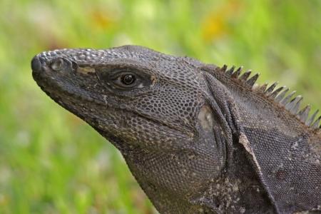 mayan riviera: A portrait of a Black Iguana (Ctenosaura similis), shot on the Mayan Riviera, Mexico.