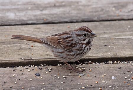 A Song Sparrow (Melospiza melodia) eating seeds on a deck.  Shot in Southern Ontario, Canada. Banco de Imagens